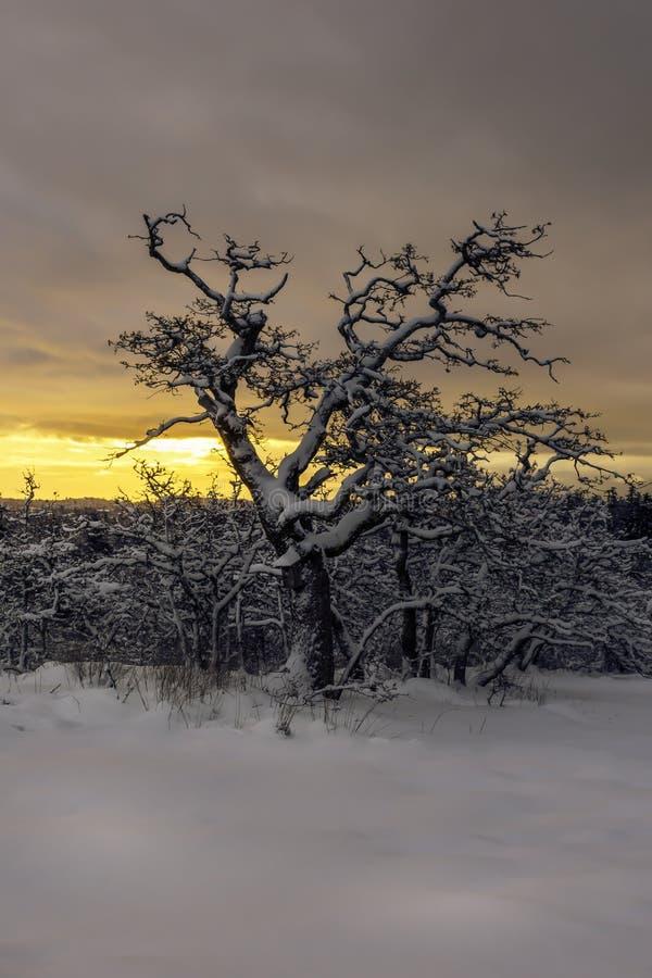 Robles en la nieve fotografía de archivo