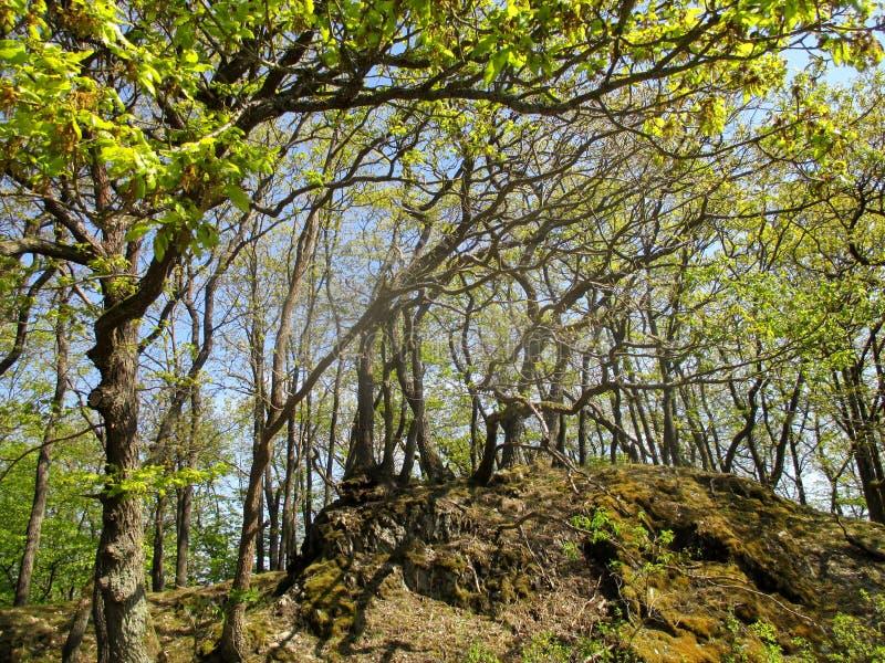 Robles lisiados con verde fresco en primavera fotografía de archivo libre de regalías