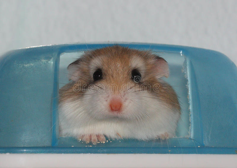 Roborovski de hamster photos stock