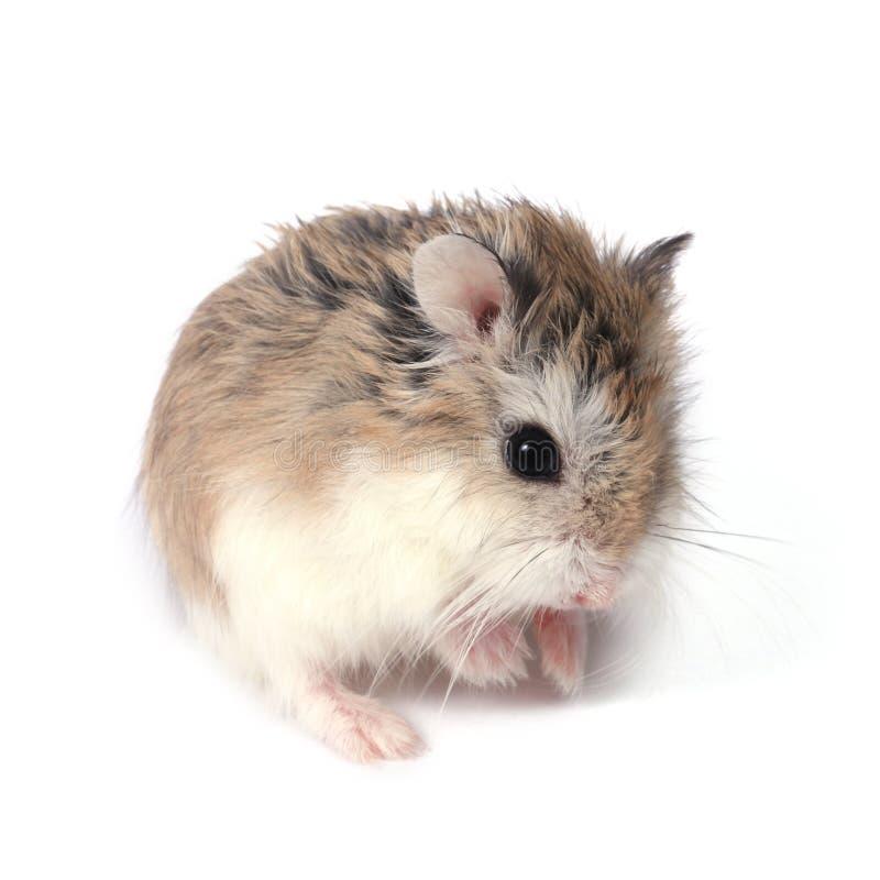 Roborovski hamster stock photo. Image of hamsters, looking ...