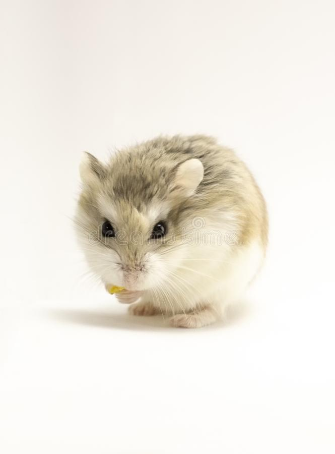 Roborovski hamster som isoleras på vit bakgrund som ser till tittaren royaltyfri fotografi