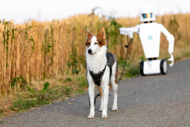 Robot is taking a walk with a dog. On a street between cornfields, concept household ai robot or ambient assisted living. robot is having his own pet stock photos