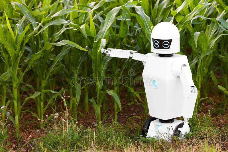 Robotic farmer is standing in front of a cornfield royalty free stock photo