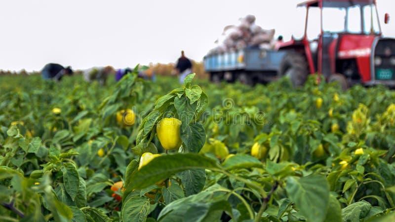 Robotnicy Rolni Zbiera Żółtego Dzwonkowego pieprzu obrazy stock