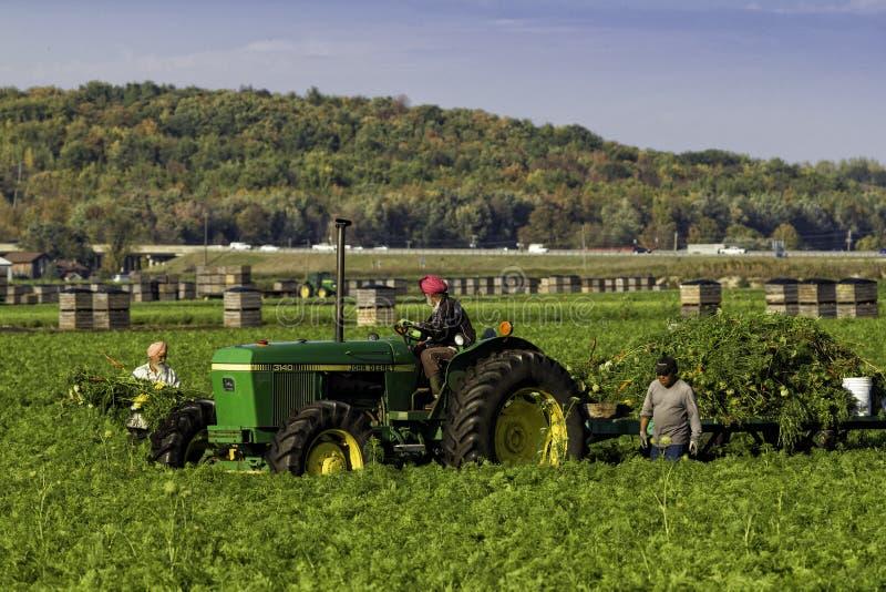 Robotnicy rolni zbiera marchewki zdjęcie stock