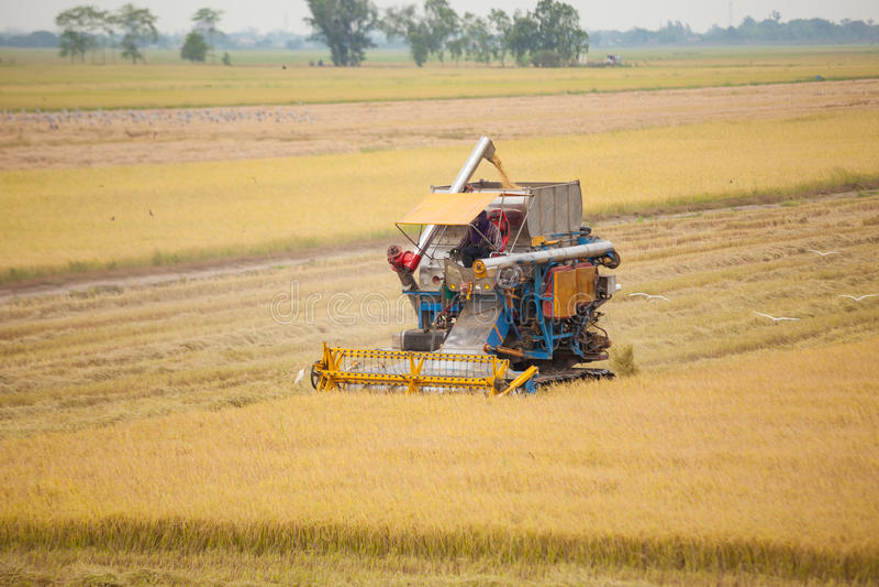 Robotnik rolny zbiera ryż z syndykat maszyną zdjęcie stock