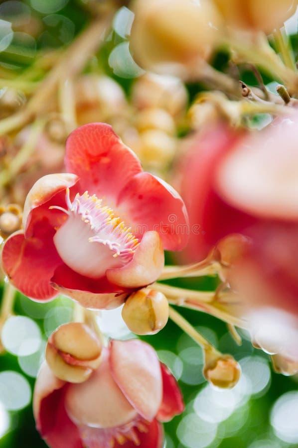 Robusta blomma av shoreaen eller Sala - Salflora på Cannonballträd Trädet vördas av buddistiskt folk royaltyfri bild