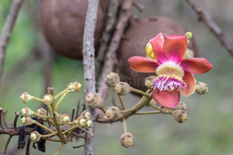 Robusta blomma f?r n?ra ?vre Shorea Cannonballtr?d som blommar i naturbakgrund arkivbilder