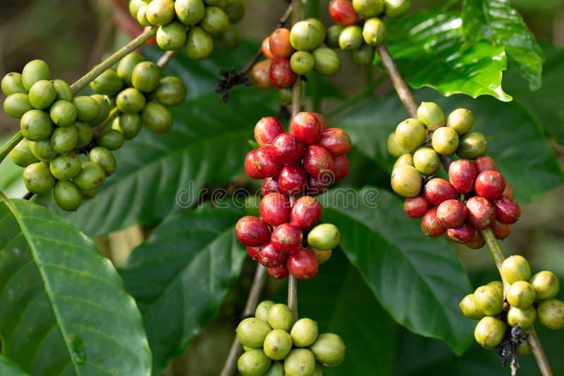 Robusta, chicco di caffè di ciliegia rossa su un albero di caffè immagine stock libera da diritti