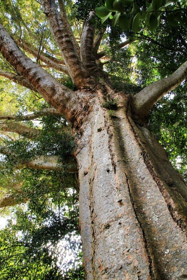 Robusta träd för Agathis i trädgården arkivfoton