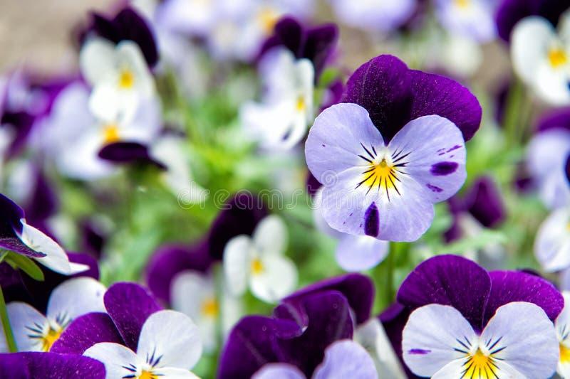 Robusto e fiorire Pansé del giardino con i petali porpora e bianchi Pans? ibrida Pansé tricolore della viola in aiola pansy immagine stock libera da diritti
