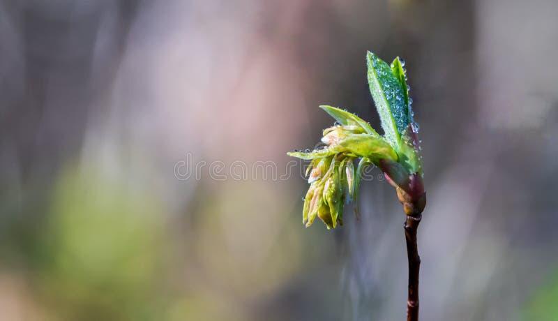 Rocíe el brote de flor fresco cubierto agua del almácigo de la primavera que emerge fotos de archivo libres de regalías