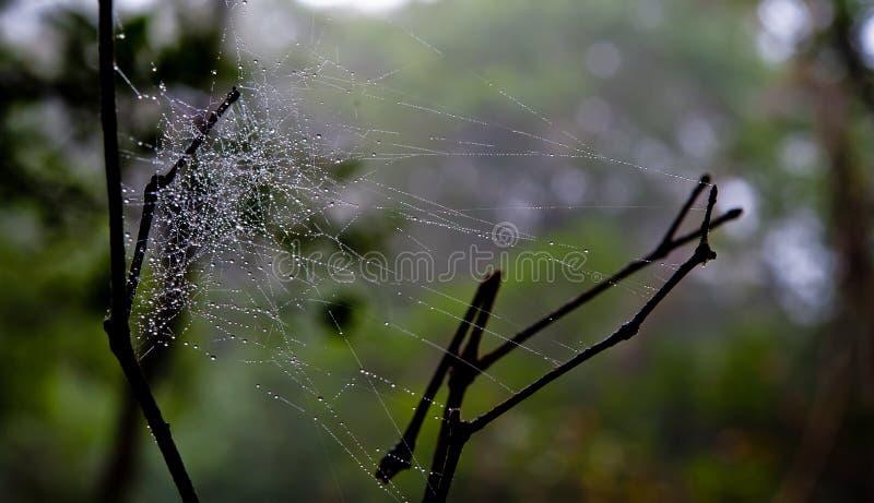 Rocío de la mañana El agua brillante cae en spiderweb sobre bosque verde imagen de archivo