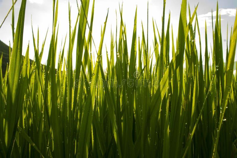 Rocío de la mañana en campo del arroz imagenes de archivo