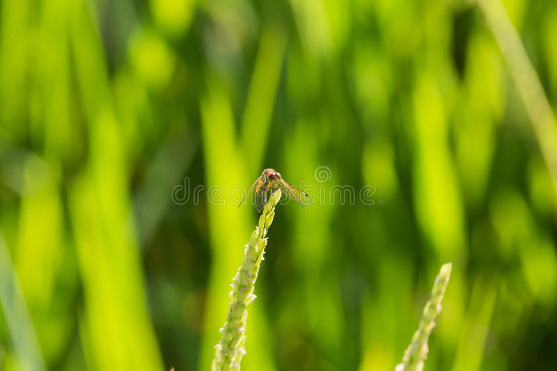 Rocío en campo del arroz foto de archivo