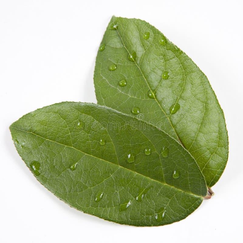 Rocío en las hojas verdes imagen de archivo libre de regalías