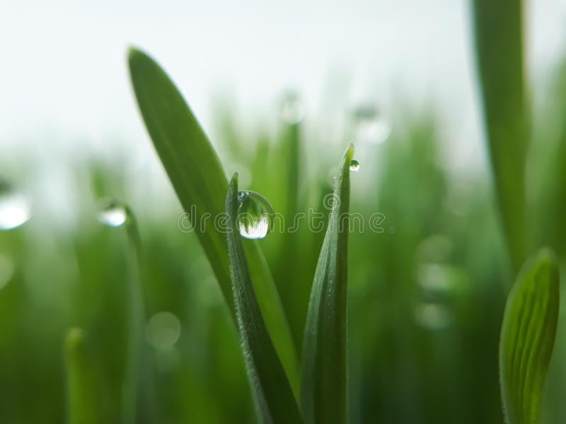 Rocío en wheatgrass - primer fotos de archivo