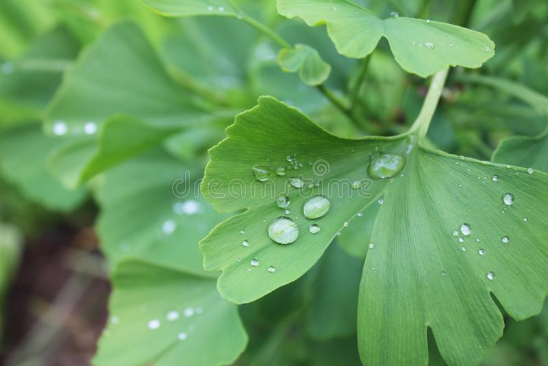 Rocío, gotas de lluvia, gotitas en las hojas verdes del árbol común de Biloba Maidenhair del Ginkgo, planta, macro foto de archivo