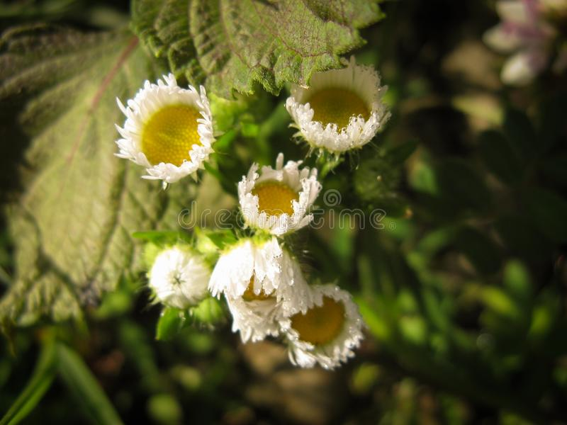 Rocío macro del primer de la margarita de la flor Flor de la margarita blanca en el rocío de la mañana imagen de archivo