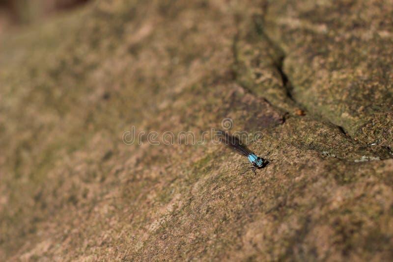 Roca del Damselfly foto de archivo libre de regalías