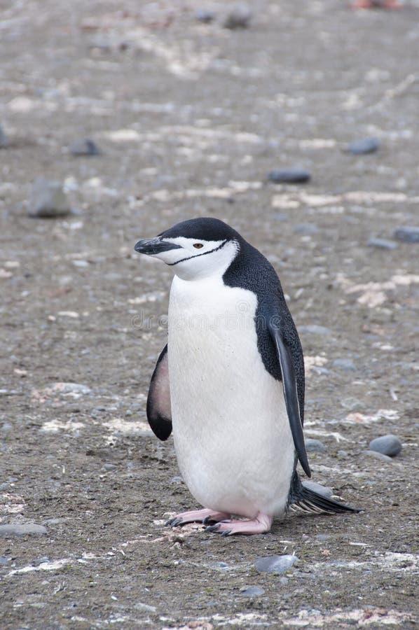 Roccia della holding del pinguino di Chinstrap. fotografia stock
