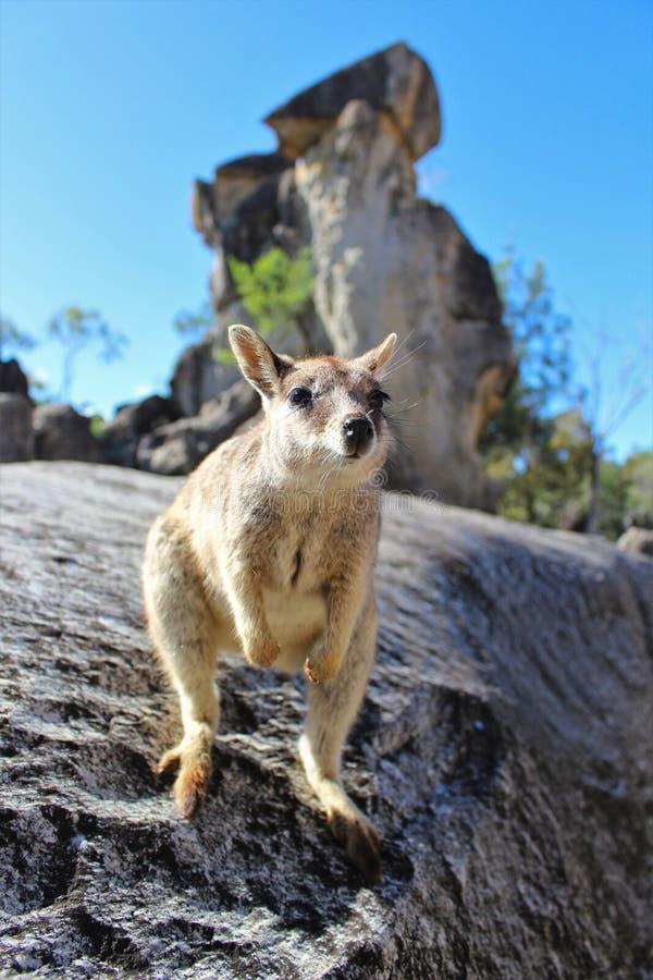Roccia-wallaby di Mareeba fotografia stock