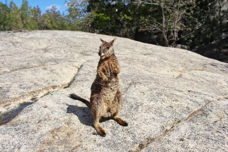 Roccia-wallaby di Mareeba immagine stock libera da diritti