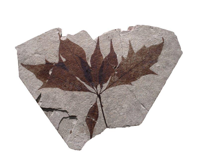Rocha com as folhas do fóssil isoladas. fotos de stock royalty free