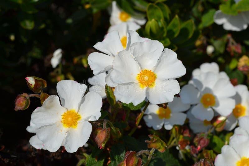 A rocha de Sageleaf aumentou florescendo no dia ensolarado claro no jardim, rocha sábio-com folhas aumentou fotos de stock