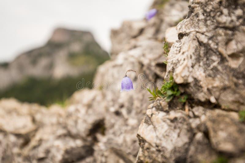 Rocha de Violet Flower Grow On The fotos de stock royalty free