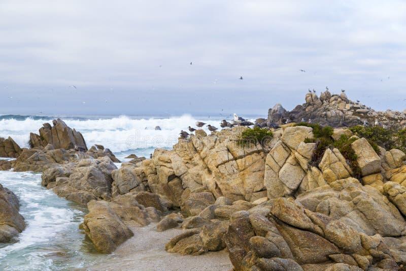 Rocha do pássaro com pássaros de água gaivotas e pássaros que sentam-se nas rochas, Monterey dos cormorões, Califórnia imagem de stock royalty free