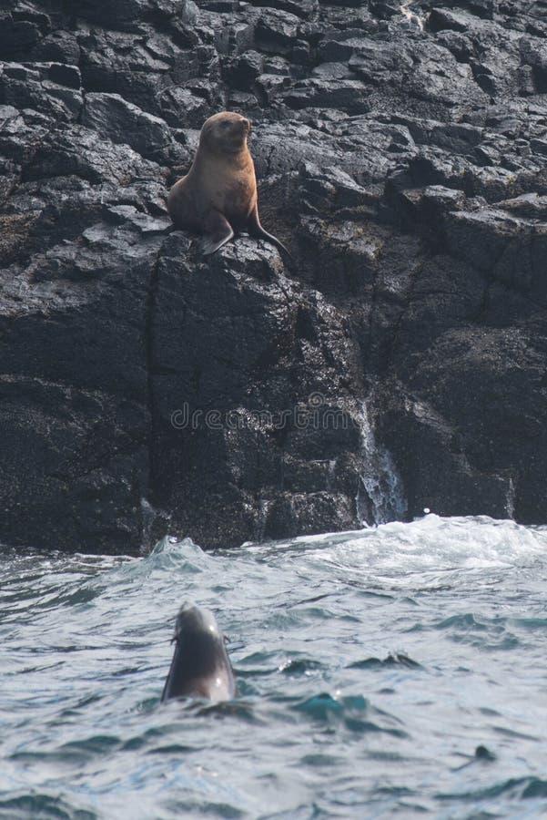 Rocha do selo, Phillip Island, Austrália fotos de stock