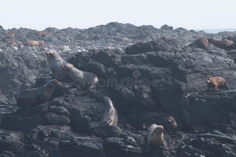 Rocha do selo, Phillip Island, Austrália imagem de stock royalty free