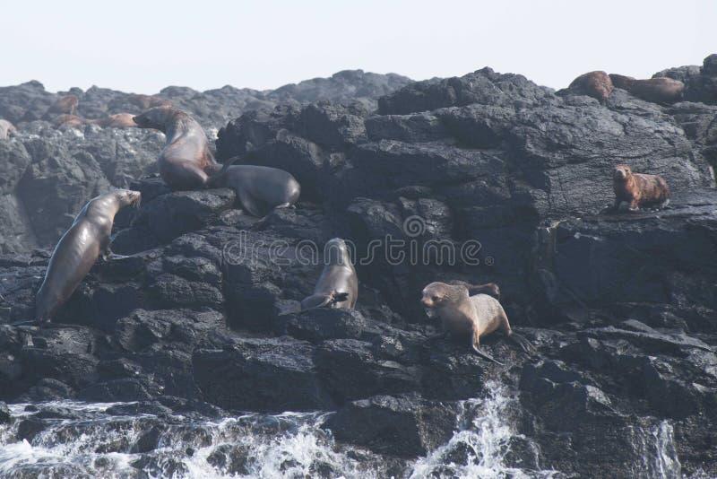 Rocha do selo, Phillip Island, Austrália foto de stock royalty free