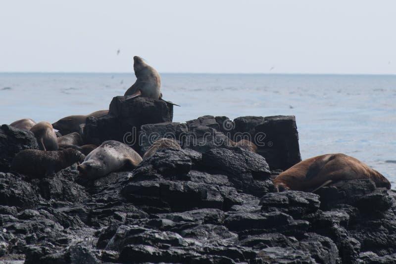 Rocha do selo, Phillip Island, Austrália imagem de stock