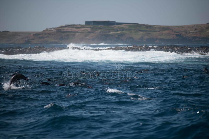 Rocha do selo, Phillip Island, Austrália imagens de stock