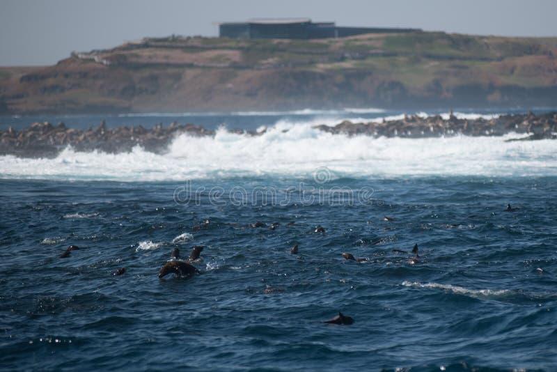 Rocha do selo, Phillip Island, Austrália foto de stock