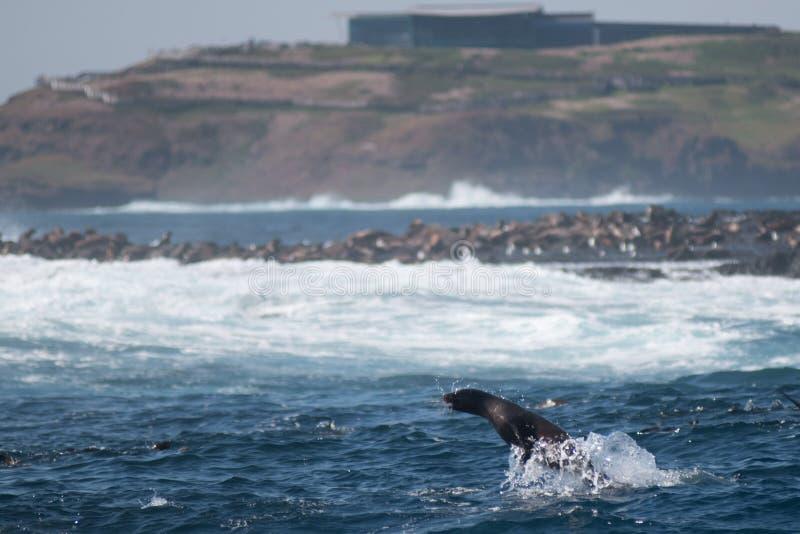 Rocha do selo, Phillip Island, Austrália fotografia de stock royalty free