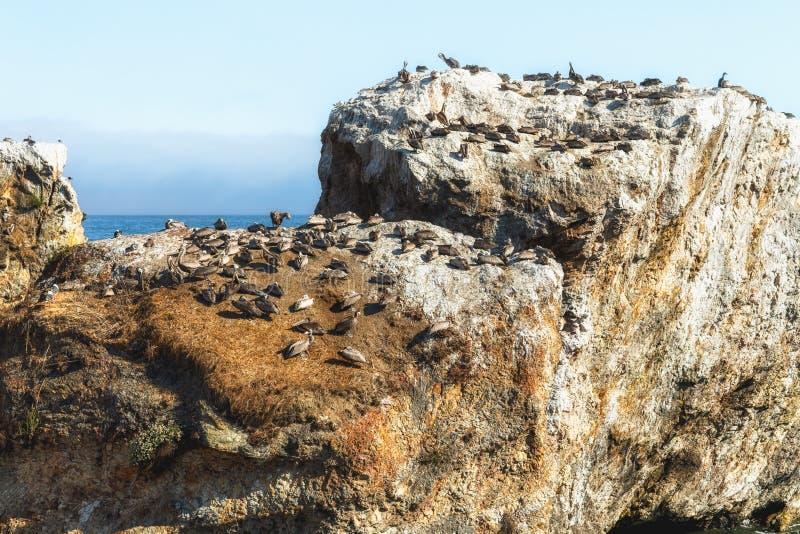 Rocha no oceano e no rebanho dos pássaros Col?nia do pelicano Grande grupo dos animais, animais no selvagem, litoral de Califórni imagem de stock