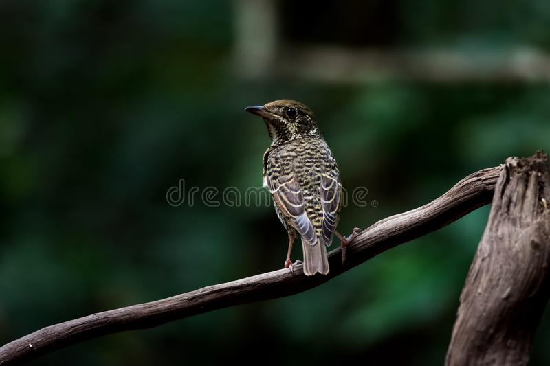 Roche-Grive Blanc-Throated photo stock