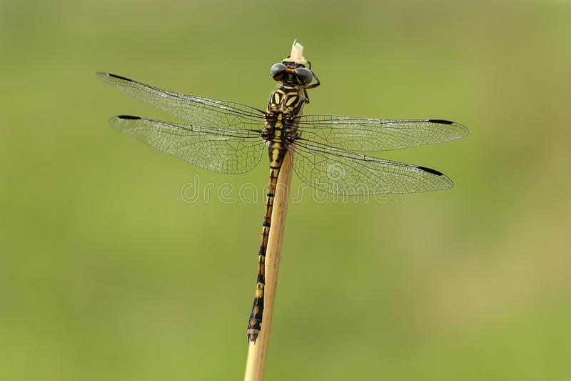 Roche Hooktail, cognatus de Paragomphus photos stock