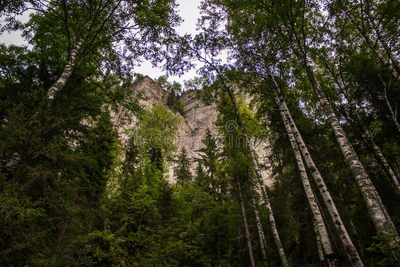 Roche sur un fond des arbres de bouleau photographiés de dessous image libre de droits