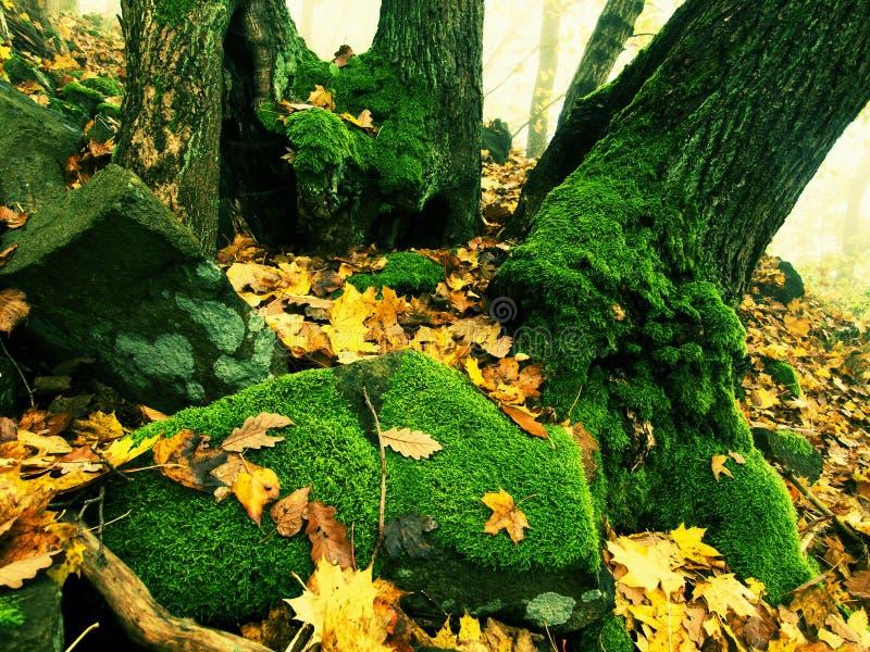 Rocher moussu de basalte dans la forêt de feuilles couverte de premières feuilles colorées d'arbre d'érable, d'arbre de cendre et photos libres de droits