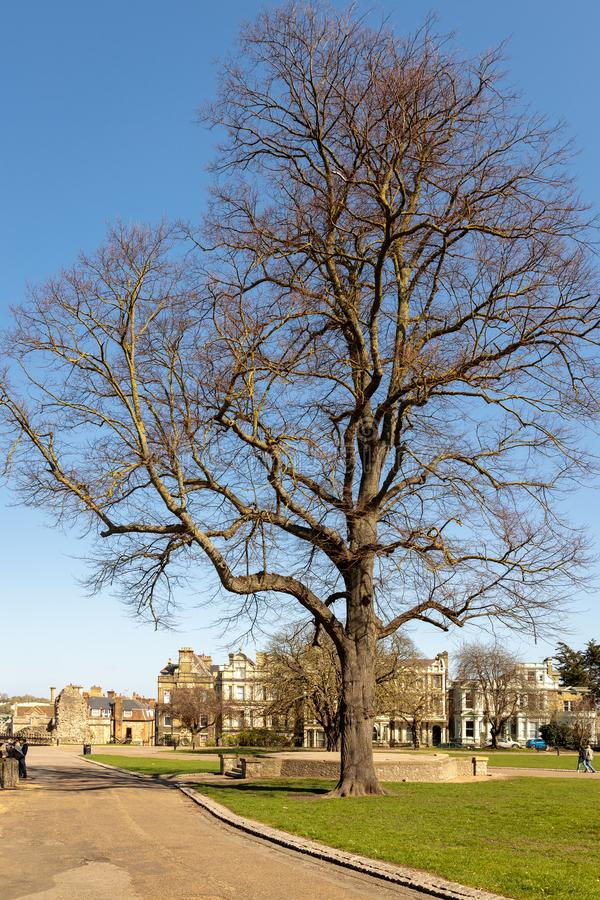 View of a magnificent tree in the Castle grounds at Rochester on March 24, 2019. Unidentified royalty free stock images