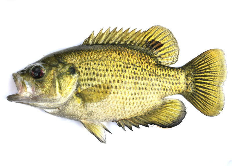 Rock Bass, (Ambloplites rupestris) royalty free stock photo