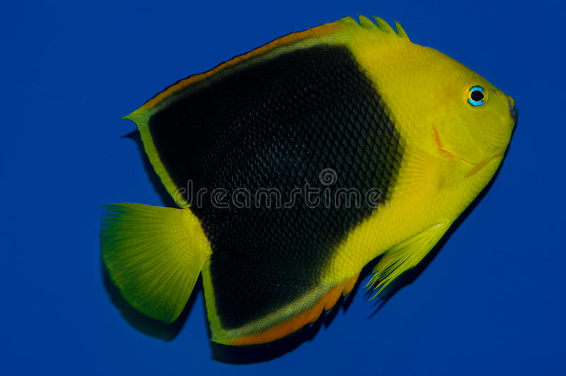 Rock Beauty Angelfish Adult. The Rock Beauty Angelfish is commonly referred as Rocky Beasty, Corn Sugar, Coshubba, and Yellow Nanny. Juvenile Rock Beauty royalty free stock image