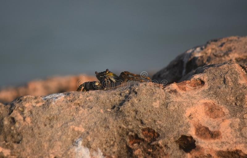 Amazing Look at a Grey Swimming Crab Balanced on a Rock stock images