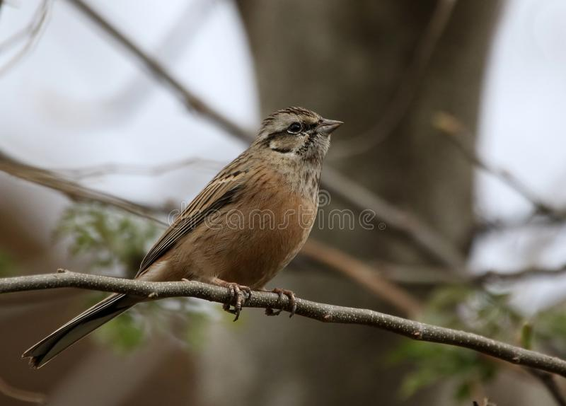 Rock bunting stock photography