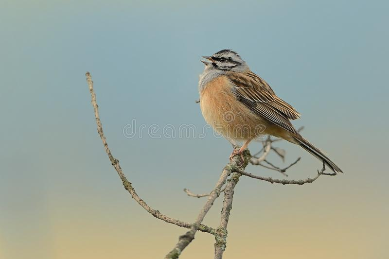Rock Bunting & x28;Emberiza cia& x29;. Perched on a branch captured closed up stock photo