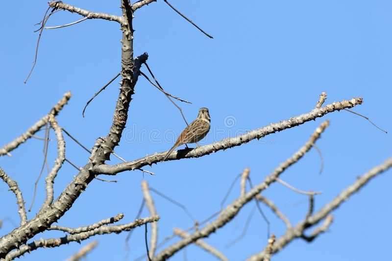 Rock bunting. The rock bunting is a passerine bird in the bunting family Emberizidae, a group now separated by most modern authors from the finches, Fringillidae stock photos
